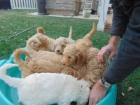Goldendoodle Puppies for sale in San Diego, CA, USA. price: NA