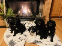 Goldendoodle Puppies for sale in Minneapolis, MN, USA. price: NA