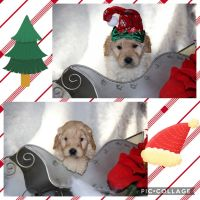 Goldendoodle Puppies for sale in Duke Center, PA 16729, USA. price: NA