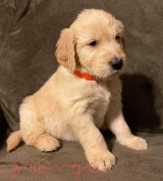 Goldendoodle Puppies for sale in Marshfield, WI 54449, USA. price: NA