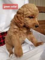 Goldendoodle Puppies for sale in Laurens, SC 29360, USA. price: NA
