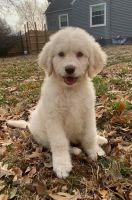 Goldendoodle Puppies for sale in Hannibal, MO 63401, USA. price: NA