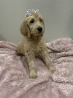 Goldendoodle Puppies for sale in Richland, MO 65556, USA. price: NA
