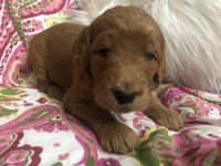 Goldendoodle Puppies for sale in Heber Springs, AR 72543, USA. price: NA