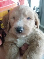 Goldendoodle Puppies for sale in Coolidge, AZ 85128, USA. price: NA