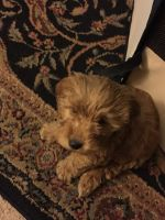 Goldendoodle Puppies for sale in Muncie, IN, USA. price: NA