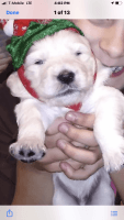 Goldendoodle Puppies for sale in Taunton, MA, USA. price: NA