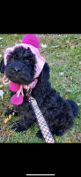 Goldendoodle Puppies for sale in 8007 York Rd, Towson, MD 21204, USA. price: NA