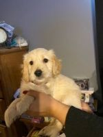 Goldendoodle Puppies for sale in Plainfield, IL, USA. price: NA