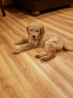 Goldendoodle Puppies for sale in Chicago, IL 60656, USA. price: NA
