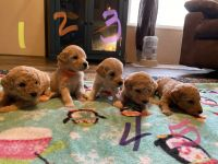 Goldendoodle Puppies for sale in Canton, NC 28716, USA. price: NA
