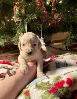 Goldendoodle Puppies for sale in Fishers, IN, USA. price: NA