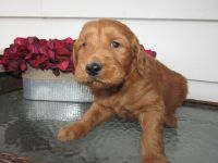 Goldendoodle Puppies for sale in Kalamazoo, MI, USA. price: NA