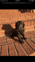 Goldendoodle Puppies for sale in Birmingham, AL, USA. price: NA