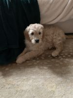 Goldendoodle Puppies for sale in Alexandria, VA 22314, USA. price: NA