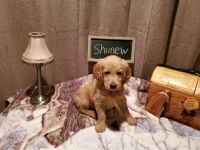 Goldendoodle Puppies for sale in Spirit Lake, ID 83869, USA. price: NA