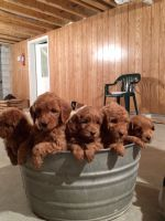 Goldendoodle Puppies for sale in Shipshewana, IN 46565, USA. price: NA