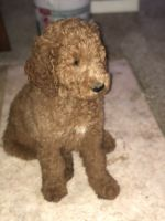 Goldendoodle Puppies for sale in 2364 County Rd 2605, Moberly, MO 65270, USA. price: NA