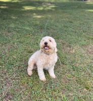 Goldendoodle Puppies for sale in Brandon, FL, USA. price: NA