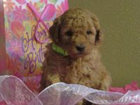 Goldendoodle Puppies for sale in Hancock, MN 56244, USA. price: NA