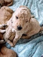 Goldendoodle Puppies for sale in Everett, WA, USA. price: NA