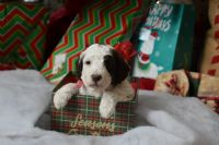 Goldendoodle Puppies for sale in Fayetteville, OH 45118, USA. price: NA