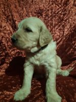 Goldendoodle Puppies for sale in Prospect, VA 23960, USA. price: NA