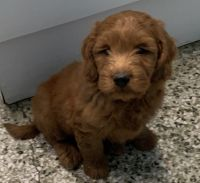 Goldendoodle Puppies for sale in Manchester, NH, USA. price: NA