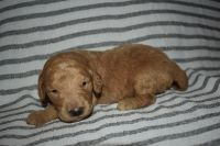 Goldendoodle Puppies for sale in Bloomington, IN, USA. price: NA