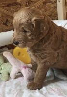 Goldendoodle Puppies for sale in Wayne, NJ 07470, USA. price: NA