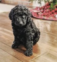 Goldendoodle Puppies for sale in Palm Beach, FL, USA. price: NA