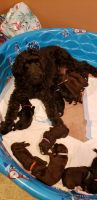 Goldendoodle Puppies for sale in West Bend, WI, USA. price: NA