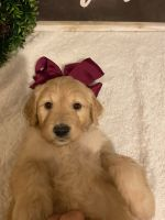 Goldendoodle Puppies for sale in Alma, AR 72921, USA. price: NA