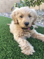 Goldendoodle Puppies for sale in Gilbert, AZ, USA. price: NA