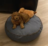 Goldendoodle Puppies for sale in 1155 Larkspur Ln, Dallas, NC 28034, USA. price: NA