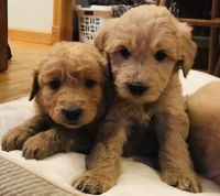 Goldendoodle Puppies for sale in Houston, MO 65483, USA. price: NA