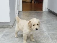 Goldendoodle Puppies for sale in Baltimore, MD 21209, USA. price: NA