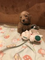 Goldendoodle Puppies for sale in Las Vegas, NV, USA. price: NA