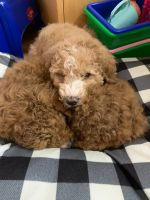 Goldendoodle Puppies for sale in Raleigh, NC, USA. price: NA