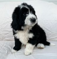 Goldendoodle Puppies for sale in Berlin, NJ 08009, USA. price: NA