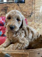 Goldendoodle Puppies Photos