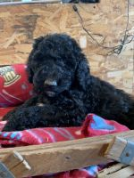 Goldendoodle Puppies for sale in Paxton, IL 60957, USA. price: NA