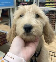 Goldendoodle Puppies for sale in Riverside, CA 92504, USA. price: NA