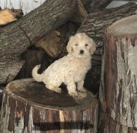 Goldendoodle Puppies for sale in Spencerville, IN 46788, USA. price: NA