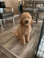 Goldendoodle Puppies for sale in Kentwood, MI, USA. price: NA