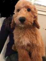 Goldendoodle Puppies for sale in Fort Mill, SC, USA. price: NA