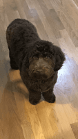 Goldendoodle Puppies for sale in Lynchburg, VA, USA. price: NA