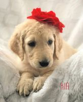 Goldendoodle Puppies for sale in Alberton, MT 59820, USA. price: NA