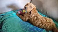 Goldendoodle Puppies for sale in Fort Worth, TX 76113, USA. price: NA