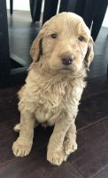 Goldendoodle Puppies for sale in Hopkins, MN, USA. price: NA